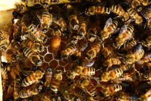 honey-bees-401097_960_720
