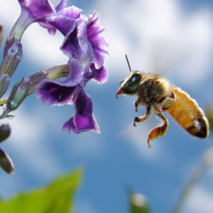 ipad_flying_bee_purple_flower_345009210_aussiegall